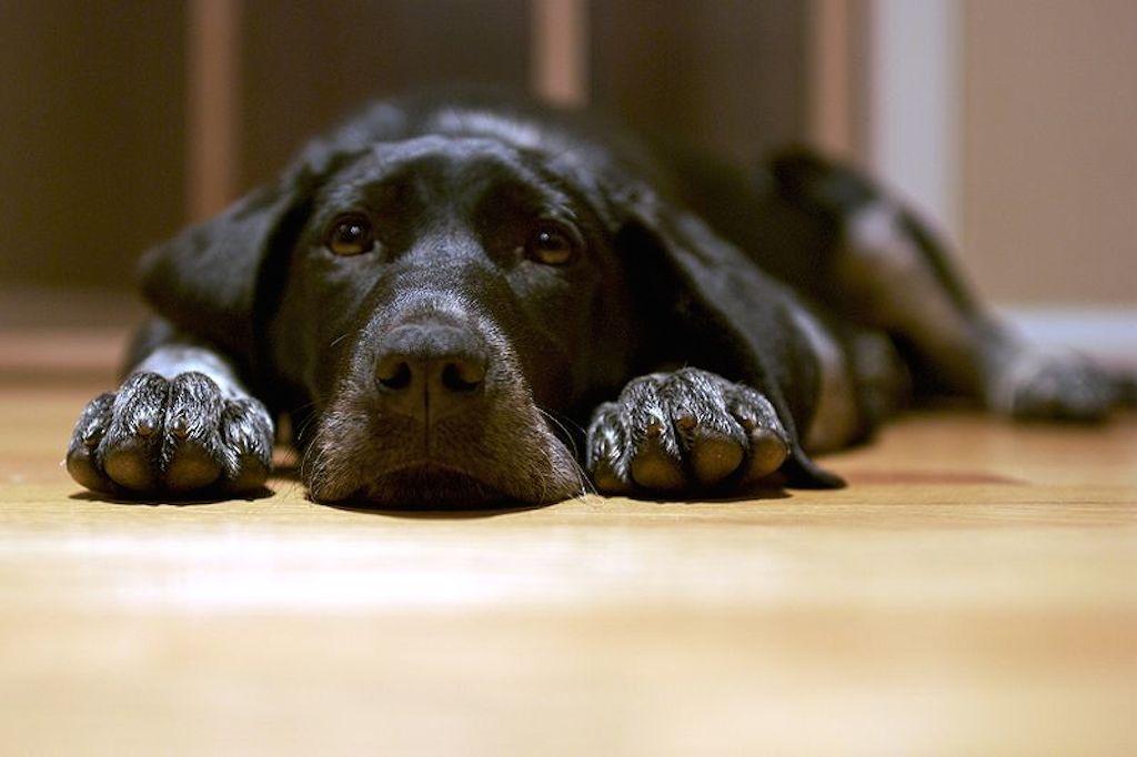 Best hardwood floors for dogs Kitchen Best Hardwood Flooring For Pets Pet Hair Hq Best Hardwood Floors For Dogs What Type Of Hardwood To Choose